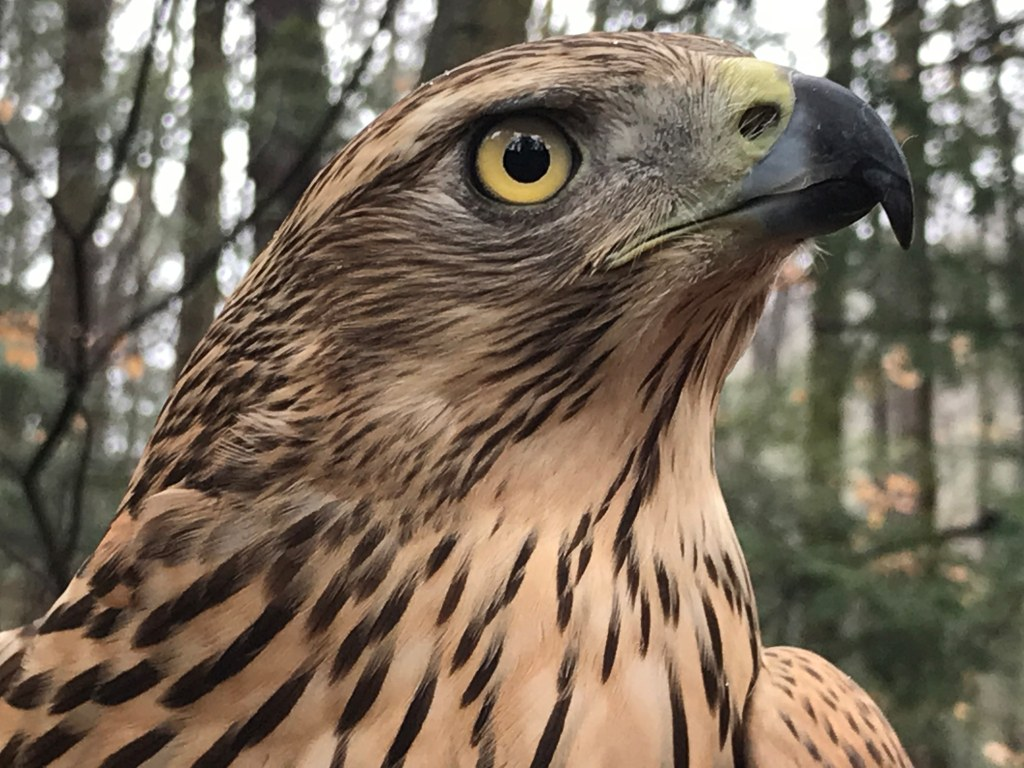 Birds of Prey Day: Why the MBTA Matters