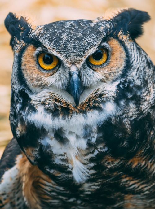 Spend some time with Darwin, the great horned owl, at Birds of Prey Day on April 22, 2018 at Clyde Peeling's Reptiland!
