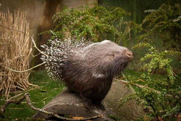 African Crested Porcupine | Creature Feature at Clyde Peeling's Reptiland | February 20, 2021