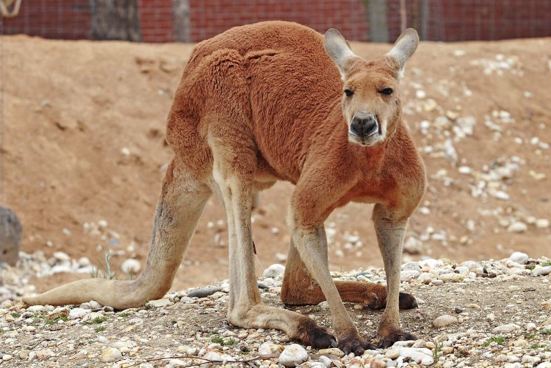 Red Kangaroo | Creature Features at Clyde Peeling's Reptiland | January 30, 2021
