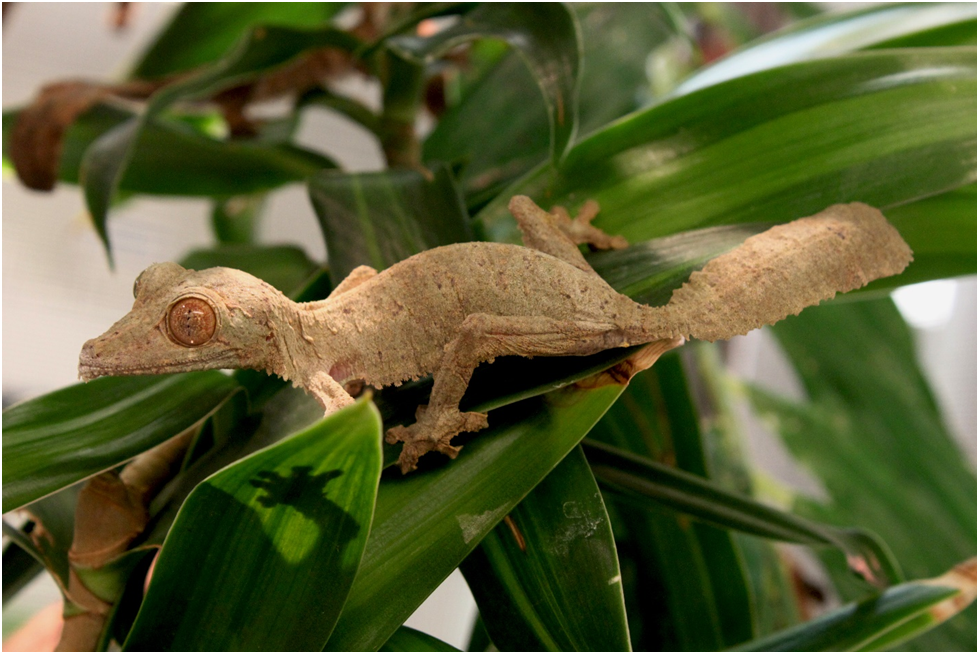 Henkel's leaf-tailed gecko | Zoo Babies: New Additions to Celebrate the Start of Spring