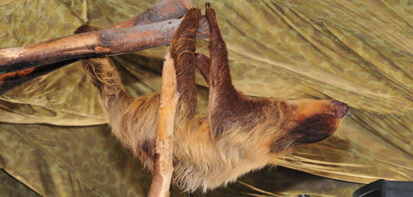 Two-Toed Sloth | Creature Feature at Clyde Peeling's Reptiland | March 13, 2021